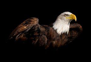 Τα χρόνια περνούσαν και ο αετός έμαθε να ζει σαν κότα